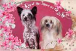 День Китайской Хохлатой Собаки - 18 июля - праздник породы!