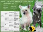 """Puppy litter """"F"""" Chinese crested dog"""