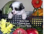 Ksolo Club Flaming Gem iz Zelenoy Roshi Ksolo Club Fall in Love iz Zelenoy Roshi