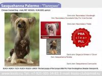 Sasquehanna kennel chinese crested dog