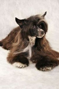 Chinese crested dog kennel Luba'S Norway
