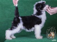 Chinese crested dog puppy
