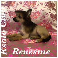Chinese crested dog Ksolo Club Renesmi