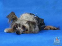 Chinese crested dog Moscow
