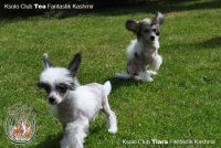 chinese crested dog photo puppy