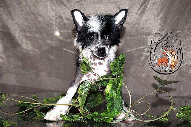 Китайская хохлатая собака о зубах